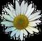 HO BriggsRoseGarden Daisy-icon