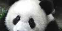 Prehistoric Pandas
