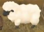 Tot sheep