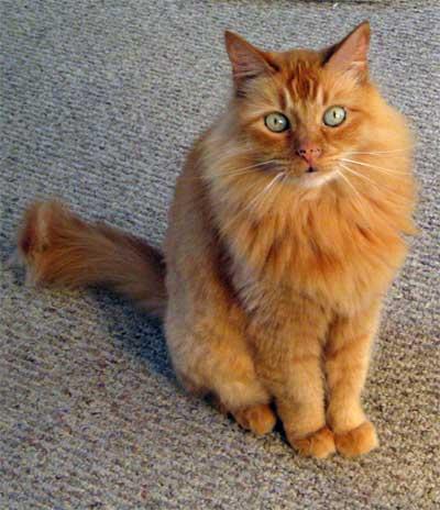 File:Cat orange.jpg