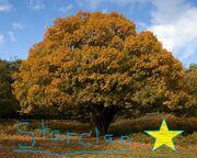 Oak-tree-Starclan