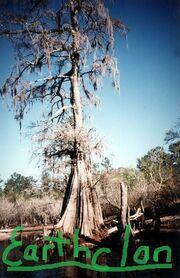 Cypress tree-Earthclan