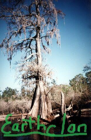 File:Cypress tree-Earthclan.jpg