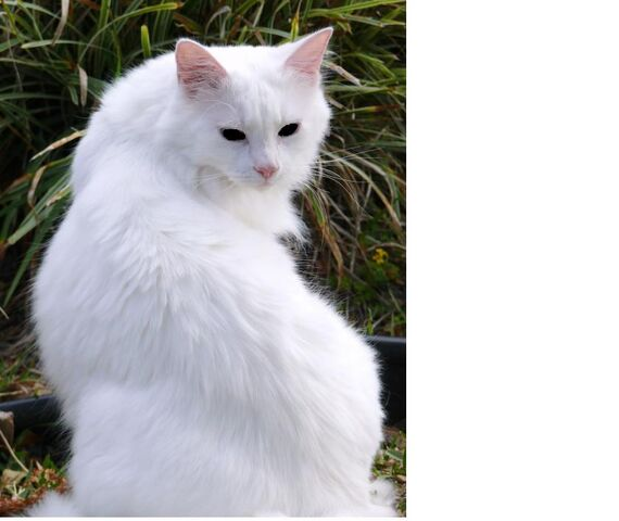 File:White cat with black eyes.jpg
