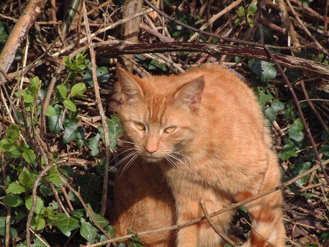 File:Ginger Cat.jpg