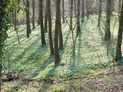 LOADs of wild garlic..