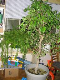 Ficus bostfern