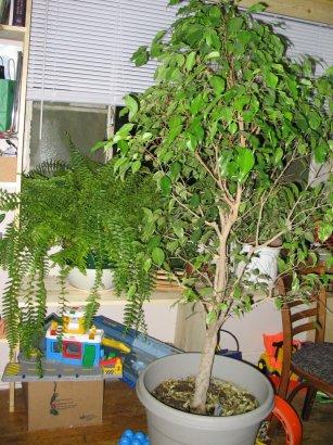 File:Ficus bostfern.jpg