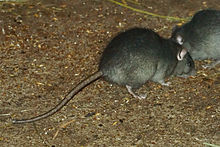 File:BlackRat.jpg