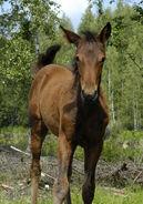 Foal in Finland