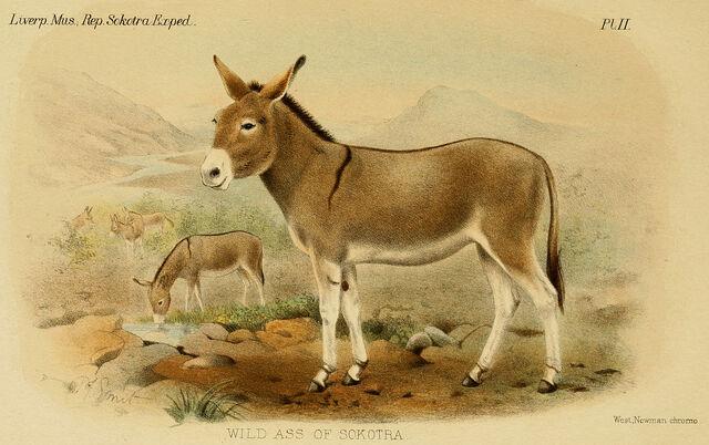 File:1280px-Wild Ass of Sokotra.jpg