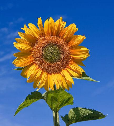 File:541px-Sunflower sky backdrop.jpg