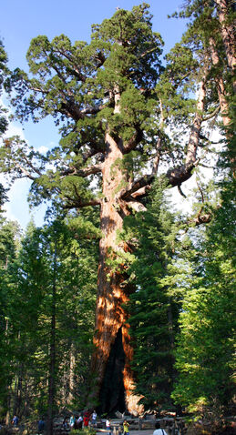 File:Grizzly Giant Mariposa Grove.jpg