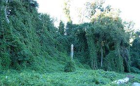 450px-Kudzu on trees in Atlanta, Georgia