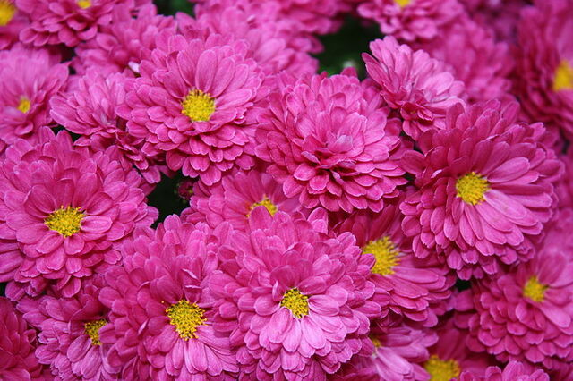 File:800px-Chrysanthemumkjfmartin.jpg