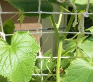 Cucumbers growing on a string lattice structure