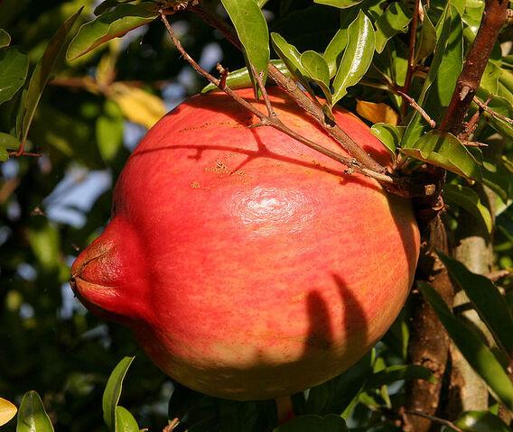 File:711px-Pomegranate fruit.jpg