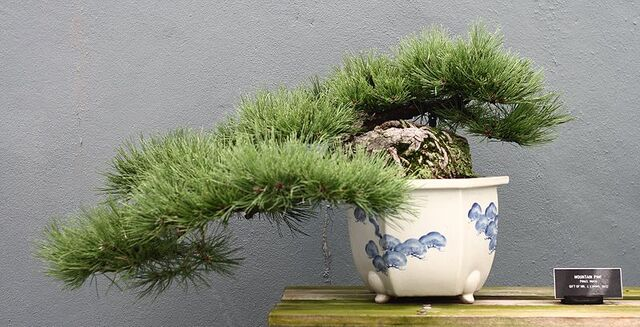 File:Semicascade bonsai.jpg