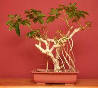 Schefflera bonsai 2 (1)