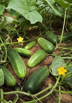 418px-ARS cucumber