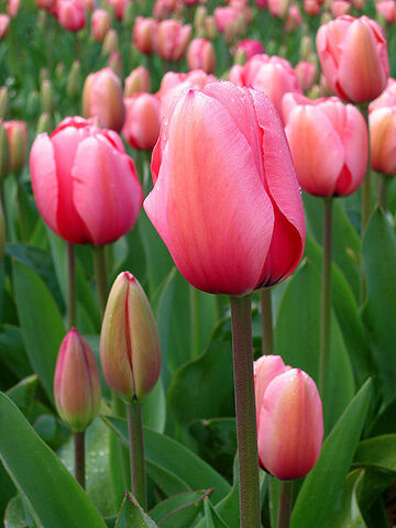 File:450px-Tulip - floriade canberra.jpg