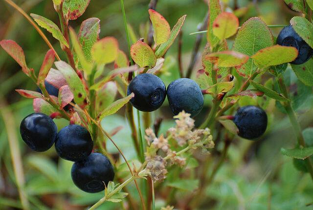 File:800px-Blueberries-Littleisland.jpg