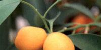 Growing Kumquats
