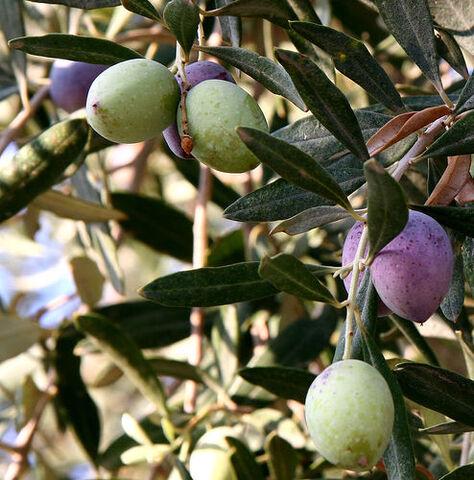 File:Olivesfromjordan.jpg