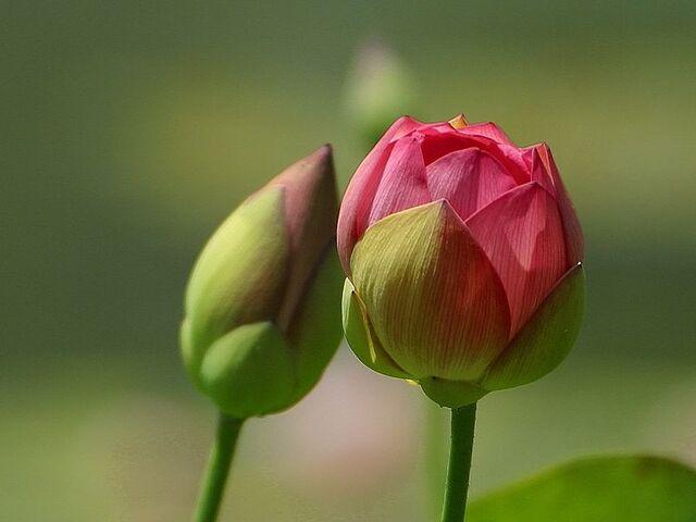 File:800px-Flower Buds.jpeg