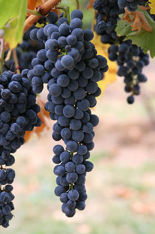 File:397px-Wine grapes03.jpg