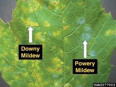 File:Downy and Powdery mildew on grape leaf.JPG