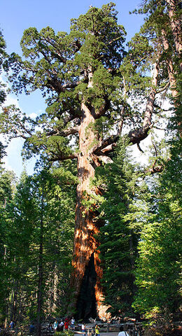 File:324px-Grizzly Giant Mariposa Grove.jpg