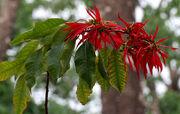 Euphorbia pulcherrima West Bengal