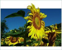 746px-Sonnenblume-hjf