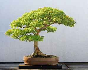 749px-Trident Maple bonsai 52, October 10, 2008