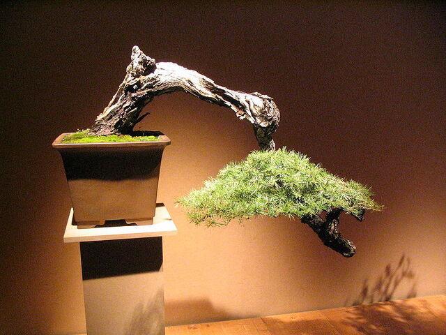 File:Cascade bonsai.jpg