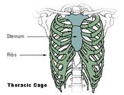 Illu thoracic cage