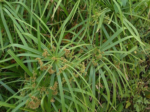 File:Flowering Cyperus alternifolius.jpg