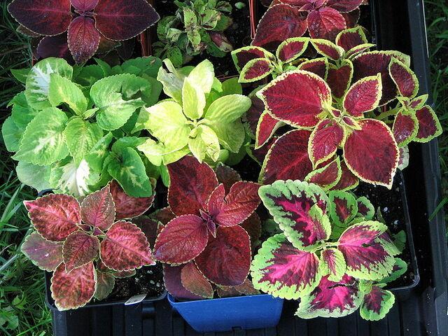 File:Coleus cultivars.jpg