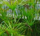 Cyperus alternifolius