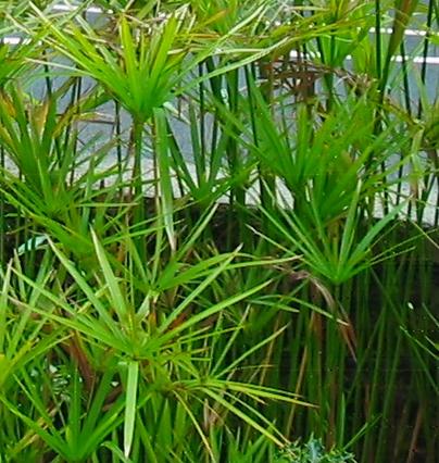 File:Cyperus alternifolius.jpg