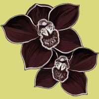 Orchidee-noire