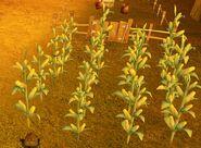 SOD-Corn