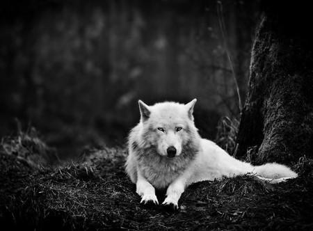 File:Wolfavi.JPG