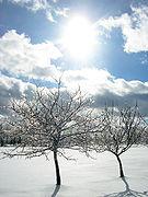 File:Iced-tree-limbs-in-sun.jpg