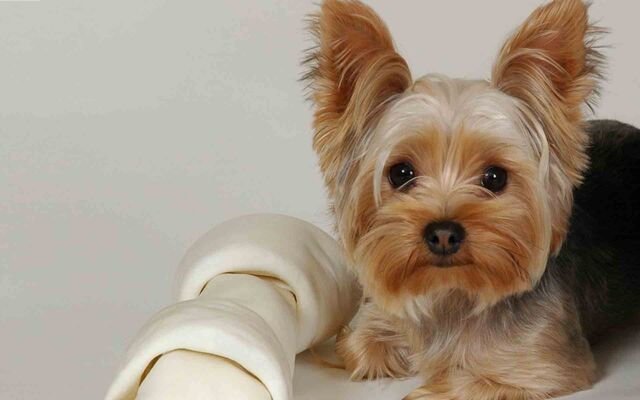 File:Training-Yorkie-Puppies5.jpg