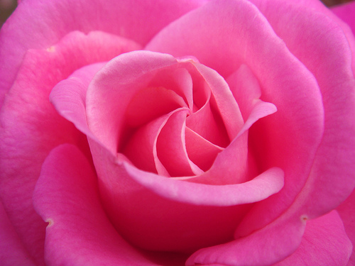 File:Hope you find that special ROSE, cause you love and care for the one you chose....jpg
