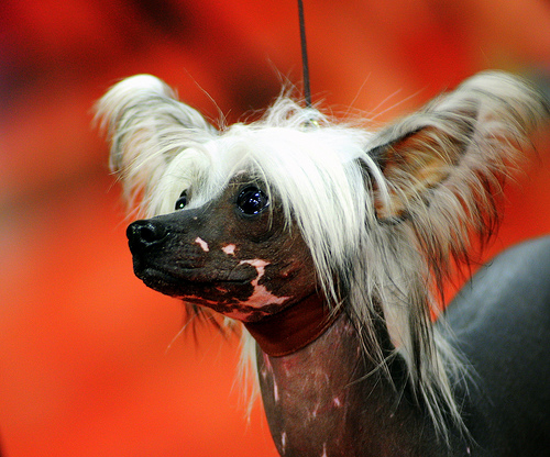 File:Chinese Crested.jpg