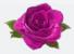 Dino pink rose
