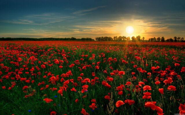 File:Red flower garden.jpg